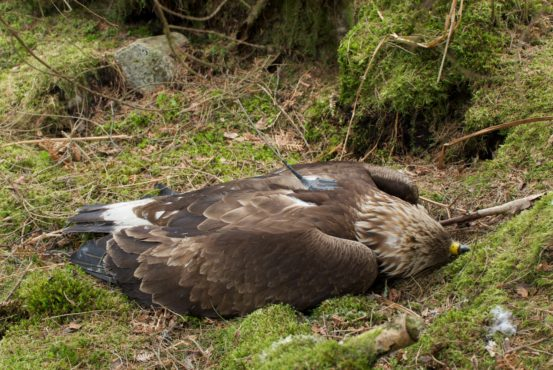 Dead golden eagle in lay by RSPB