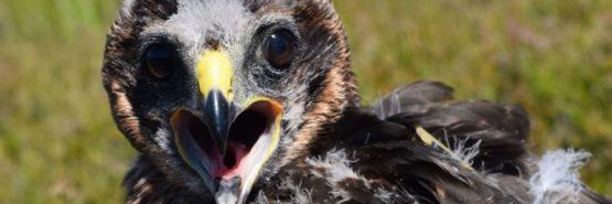 Marci the female Hen Harrier, photo credit Shaila Rao and RSPB Scotland